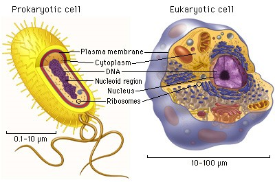 Picture shows parts of prokaryotic and Eukaryotic organism
