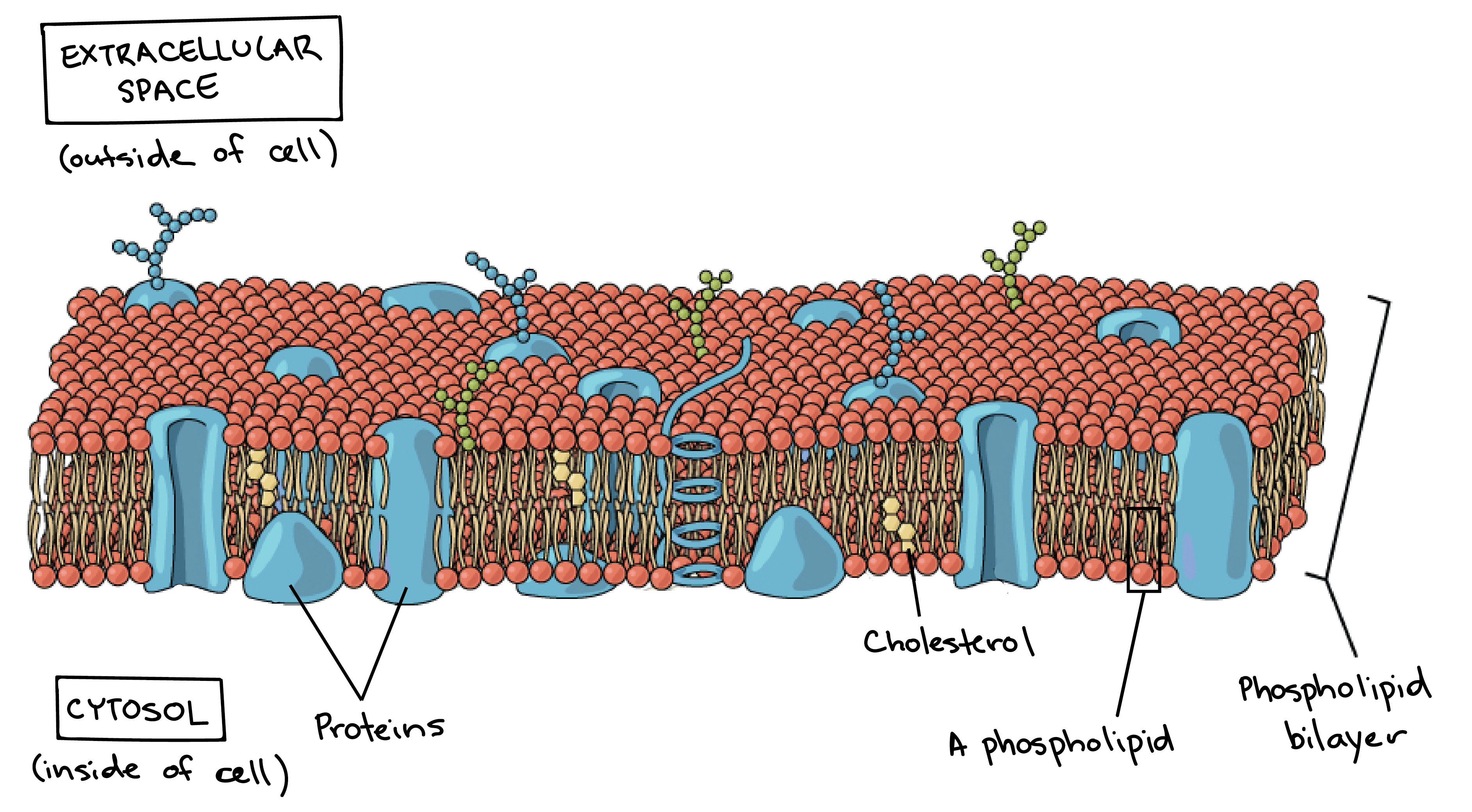 Plasma membrane of any cell