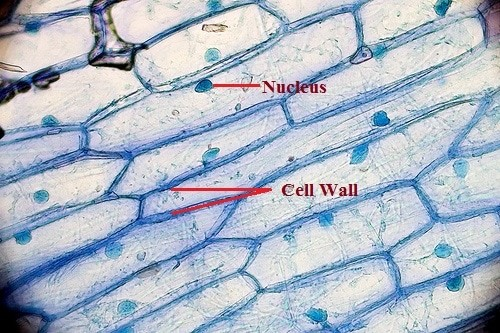 Microscopic view of onion peel representing cell wall