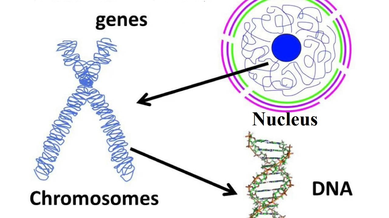 Showing nucleus, chromosome and DNA